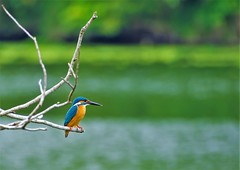 Kingfisher on the lake (Changer4Ever) Tags: nikon d7200 nikkor bird animal life nature season wild wildlife color bokeh dof depthoffield light bright feather wings outdoor