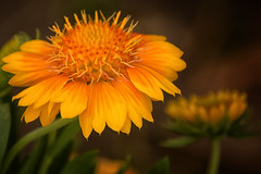 yellow passion (Gaby Swanson, Photographer) Tags: flora flower ohio nature naturephotography colorful