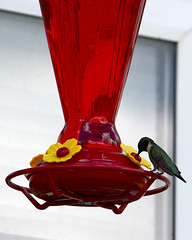 Hummingbird (Scrounger & Doxie) Tags: bird