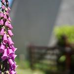 Foxglove in the Village thumbnail