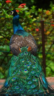 This bird showcasing it magnificent colourful-self. Indian Blue Peacock (Peafowl). Peacock Bird Peacock Feather Feather  Animal Themes Animals In The Wild Animal Wildlife One Animal Focus On Foreground Nature Beauty In Nature No People Green Color Blue Cl