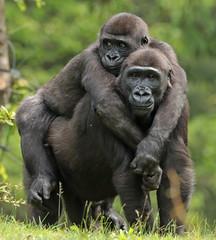 western lowlandgorilla Apenheul BB2A1555 (j.a.kok) Tags: gorilla westelijkelaaglandgorilla westernlowlandgorilla iriki apenheul mensaap aap ape monkey mammal zoogdier dier animal afrika africa jabari