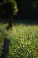 early summer evening light 5 (Amselchen) Tags: plants field bokeh blur dof depthoffield season earlysummer sony alpha7 sonyilce7 samyang 85mmf14