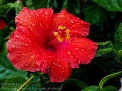 Hibiscus 2 (Kenjis9965) Tags: panasonic45mmf28 panasonicgx8 panasonicdmcgx8 panasonic gx8 45mm f28 macroelmarit macro elmarit leica panaleica hibiscus flower bright stamen vibrant raindrop rain water droplet saturated velvia