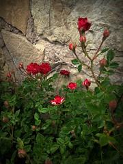 Красные цветочки (Anna Gelashvili) Tags: красныецветочки цветы flowers roseflower роза garden rose flowerроза цветокроза цветок цветочки ვარდი წითელივარდი leaf лист растение plant ყვავილები ყვავილი