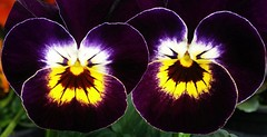 Violets (G_E_R_D) Tags: macromondays pareidolia viola violet pansy stiefmütterchen hornveilchen violacornuta hornedpansy hornedviolet