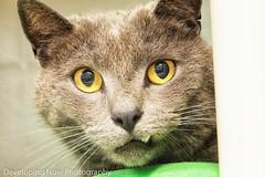 Hopeful (nywheels) Tags: spca westchester westchestercounty cat animal pet kitty feline precious love westchesterspca aspca stopkillshelters nikon urgent rescue