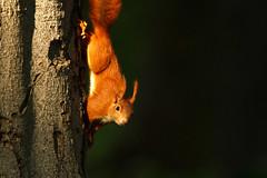 Squirrel - Puschel (Gruenewiese86) Tags: 7d canon eichhörnchen lustgarten wernigerode natur squirrel park harz harzer nature wildlife
