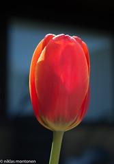 Tulips are blooming (aixcracker) Tags: tulip tulips tulpan tulpaner tulpaani flower blomma kukka spring vår kevät may maj toukokuu porvoo suomi borgå finland garden trädgård piha nikond800