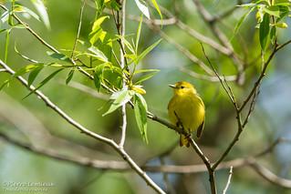 Paruline jaune (femelle) / Yellow Warbler (female)