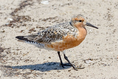 Red Knot (tresed47) Tags: 2017 201705may 20170517snewjerseybirds birds canon7d capemay capemaynwr content folder newjersey peterscamera petersphotos places redknot reedsbeach shorebirds takenby us ngc npc