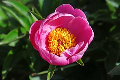 IMG_1232amsterdam (mariewise) Tags: garden summer flower blooming spring beautiful kalama washington pink purple orange peony