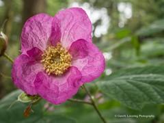 Clyne Gardens 2017 06 01 #56 (Gareth Lovering Photography 3,000,594 views.) Tags: clyne clyneinbloom botanical gardens flowers macro swansea olympus omdem10ii 30mm 30mmmacro garethloveringphotography