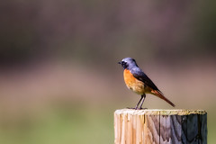 redstart on post (stevehimages) Tags: steve higgins stevehimages steveh nannerth farm wowzers warden wales bird 2017 grandpas grandpasden
