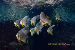 Under the rock (kayak_no1) Tags: nikon d800e nauticamhousing 1635mmafsf4gedvr ysd1 underwater underwaterphotography wa wideangle diving scubadiving uw rajaampat indonesia batfish