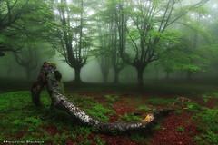 Love is in the air (Hector Prada) Tags: bosque niebla árbol hayedo primavera atmósfera naturaleza magico encantado forest enchanted misterious magic fog mist nature orozko paísvasco basquecountry woods leaves