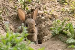 Guten Morgen / Good Morning (S. Markow) Tags: wildkaninchen rabbit animal tier outdoor nikon nikond5300 nature natur bunny pflanzen plants green grün sigma 150600mm