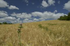 Le chardon aux épis (Michel Seguret Thanks for 10,5 M views !!!) Tags: france michelseguret nikon d800 pro aveyron nature natur natura blé blés wheat champ campo ciampo field feld jaune yellow vert green ciel himmel sky cielo