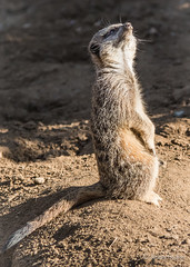Sandpit Duty (JKmedia) Tags: cornwall newquayzoo comparethemeerkat com flufft furry animal boultonphotography snarl anger chilled tail square sentry duty lookingup aware standing 2 legs