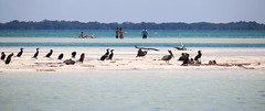 Isla Pasión (damianbendersky) Tags: islapasión isla holbox quintanaroo mexico shadesofblue blue azul peaceful peace paz tranquilidad quiet birds aves