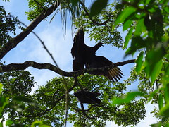 American Black Vulture at Iguazu Falls, Argentina (Normann) Tags: argentina iguassufalls iguazu bird vulture