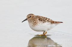 Least Sandpiper (mandokid1) Tags: canon 1dx canon7dmk11 ef400mmdo birds sparrows shorebirds