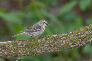 Pine Warbler female