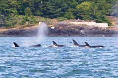 DSC_5945 (whibbles) Tags: washington pnw mountains seattle hiking rattlesnakeledge orcas whales orcasisland eagles wildlife