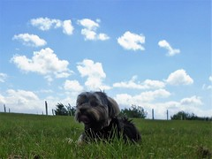 Flo Yorkie Poo Dog Having Fun In The Sun Oakham Rutland (@oakhamuk) Tags: flo yorkiepoo dog having fun in the sunoakham rutland martinbrookes