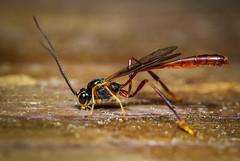 Ichneumonidae (Ichneumon Wasps) (claudiaulrikegoodall) Tags: