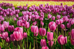 Tulip Fields (redfishsuefish) Tags: tulips tulipfestival flowers blooms spring skagitvalley washingtonstate