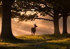Alone in the morning sun (D Llewellyn-Jones) Tags: backlight animal light morning woods trees sunrays dawn deer