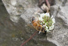 su un fiore tra i sassi.. (Carla@) Tags: nature abeille bug liguria italia europa mfcc canon explorenaturethewildnature alittlebeauty coth thesunshinegroup coth5 sunrays5