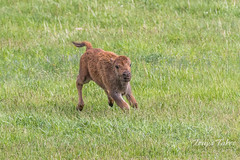 A very happy Bison calf