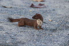 long-tailed weasel, Mustela frenata, Dorchester county, MD (jimbop22001) Tags: weasel