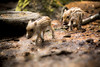 Walking in your footsteps (Mbakker81) Tags: holland bokeh baby 2017 natuur wild deptoffield nature boar veluwe lente animals canon ngc dof animal zwijn wildlife woods