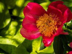 Peonia at my backyard (Lena and Igor) Tags: may spring garden flower illinois red green micro43 mirrorless panasonic lumix gx85 tamron 14150 macro bokeh