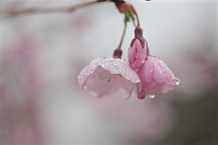 May Showers 002 (smilla4) Tags: flower cherryblossom pink raindrops waterdrops spring maine bokeh