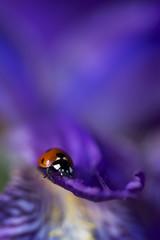 Coccinelle tout en couleur (Doriane Boilly Photographie Nature) Tags: coccinelle iris fleurs insecte pourpre mauve couleur