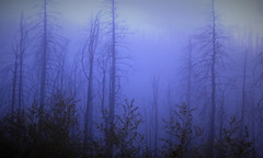 Phantom Forest (sirenscotland) Tags: outdoors nature trees pines mountains snowstorm blue