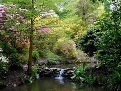 Clyne in Bloom Mid-May 2017 (3) (goweravig) Tags: clynegardens clyne swansea mayals wales uk stream blooms flowers azaleas parks gardens rhododendrons pond