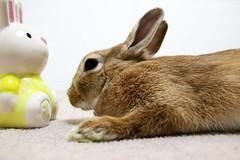 Ichigo san 729 (Ichigo Miyama) Tags: いちごさん。うさぎ ichigo san rabbitbunny netherlanddwarf brown ネザーランドドワーフ ペット いちご うさぎrabbit うさぎ