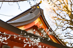 Plum Blossoms at Hanazono Shrine 花園神社の梅 (sigkate) Tags: plumblossoms 梅 hanazonoshrine 花園神社 tokyo kabukicho 東京 歌舞伎町