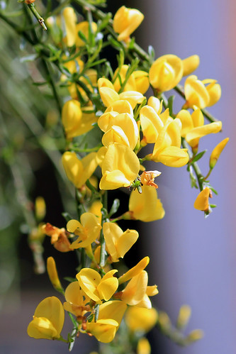 "Besenginster (Cytisus scoparius) • <a style=""font-size:0.8em;"" href=""http://www.flickr.com/photos/69570948@N04/34669561901/"" target=""_blank"">View on Flickr</a>"