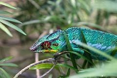 Furcifer pardalis (Alfonso Lucifredi) Tags: andilana nosy be madagascar camaleonte rettile animali furcifer pardalis wildlife