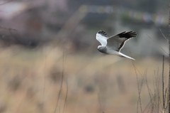Hen Harrier / Northern Harrier - Circus cyaneus (amitbandekar) Tags: india arunachal walong harrier circus cyaneus