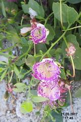 Caper flowers (Xigia) (davidshort) Tags: 2017 zakynthos zante xigia caper zakynthosflora