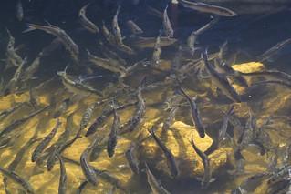 Schooling River Herring