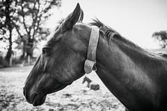 grumpy mom (Jen MacNeill) Tags: grumpy horse mare foal cribbing cribber thoroughbred colt grouchy equine blackandwhite bw farm mood animals
