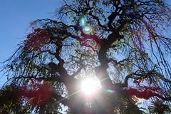 UFOs! UFOs! Alien Alert! (Snorkle-suz) Tags: tree backlit backlighting branches twigs leaves stems stalks sun flare lensflare ufo shadows flora vegetation foliage outside stem leaf plants blue sky nz newzealand aotearoa nature canonpowershotsx700hs